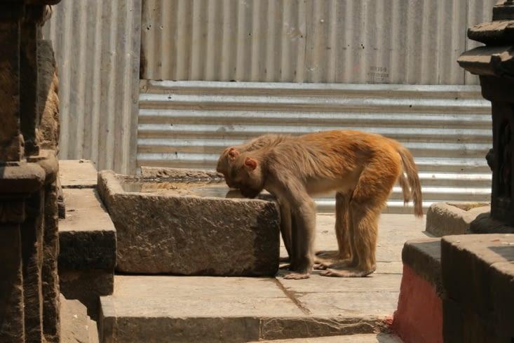 Swayambunath : le temple des singes