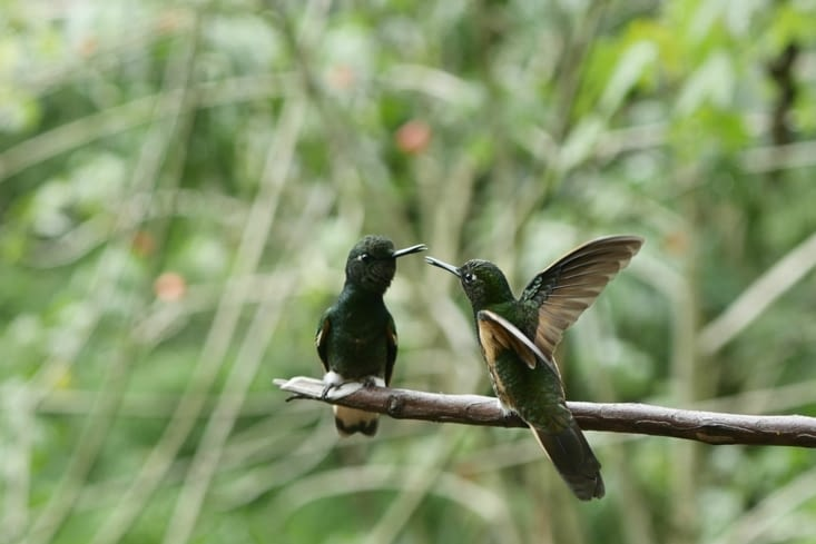 Colibri / Hummingbird