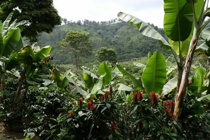 Plantation de café / Coffee plantation