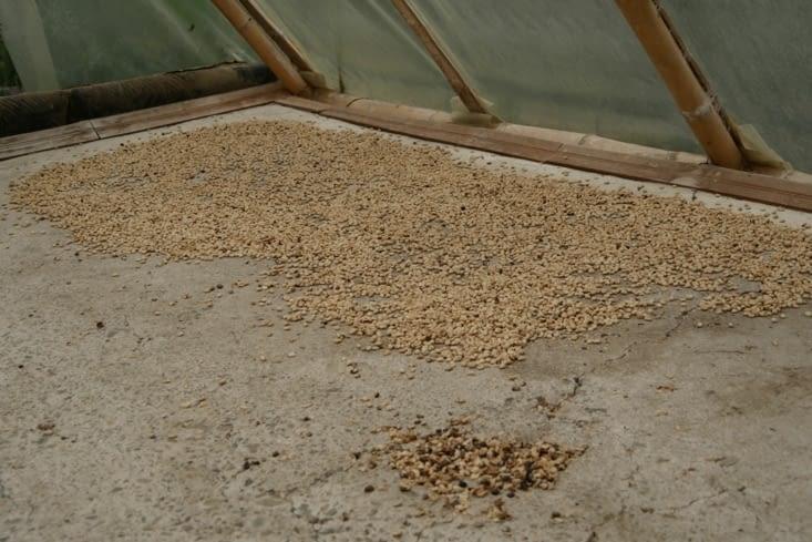 Grains de café / Coffee seeds