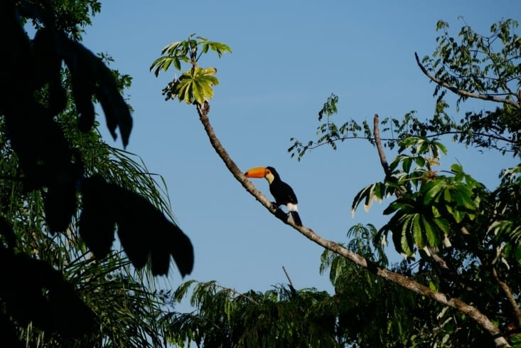 Cadeau avant de partir : le majestueux toucan / Gift before leaving: the majestuous toucan