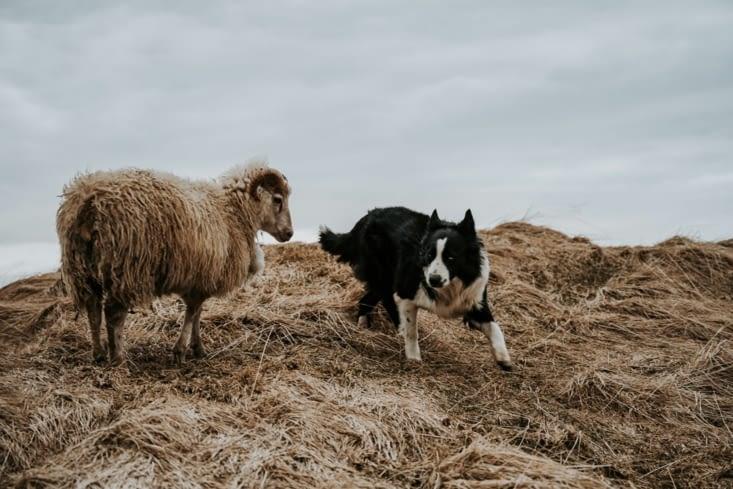 Le chien et le bouc