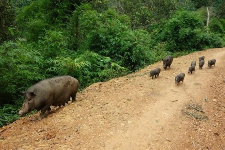 La famille cochon / Pig family