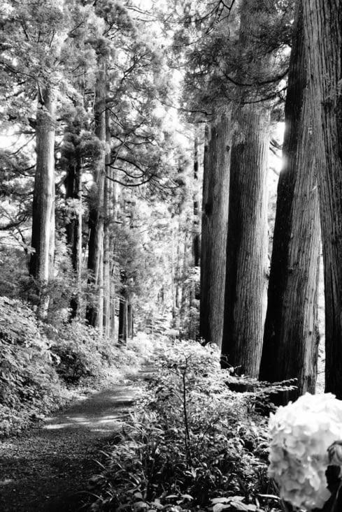 Allée des cèdres / Cedars' alley