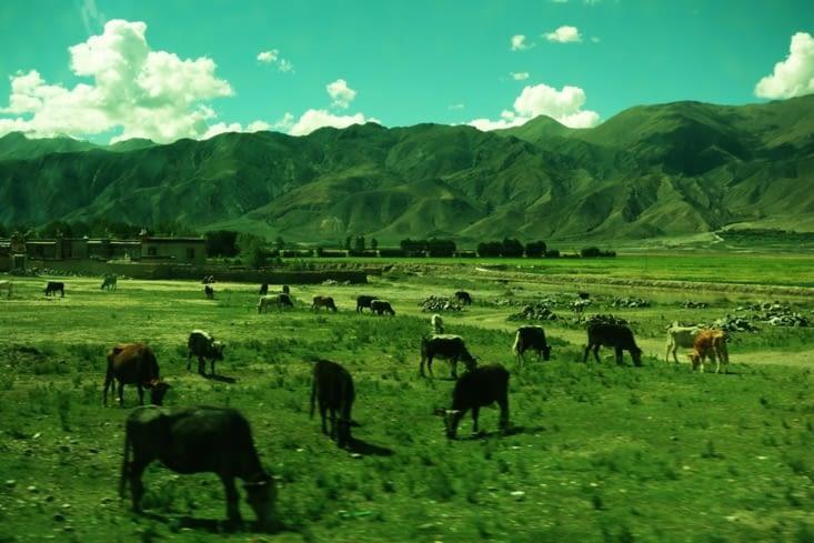 Bétail en liberté / Cattle