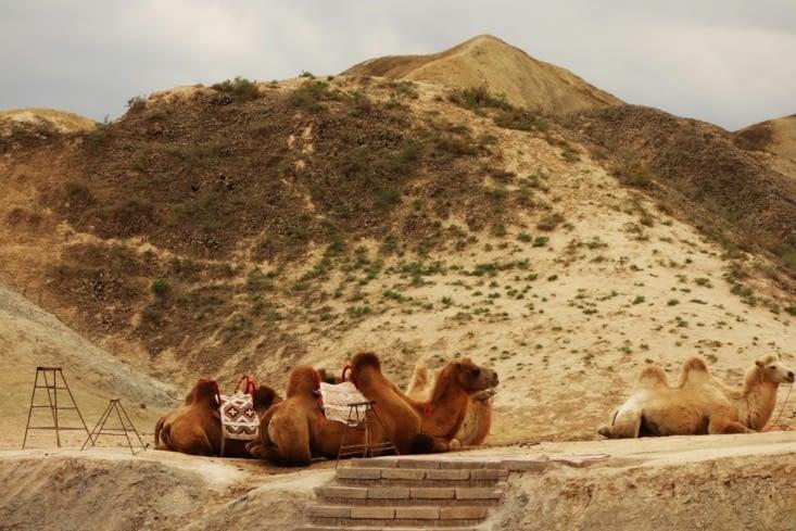 Chameaux / Camels