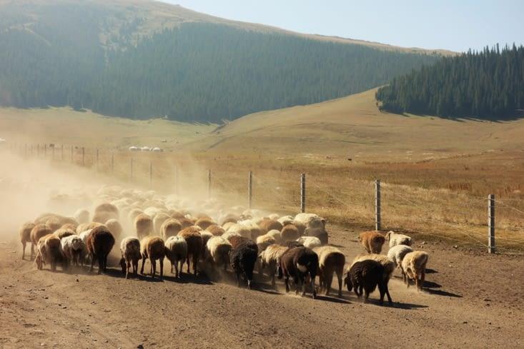 Troupeau de moutons / Sheep herd