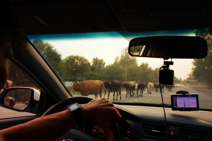 Attention vaches / Be careful cows crossing