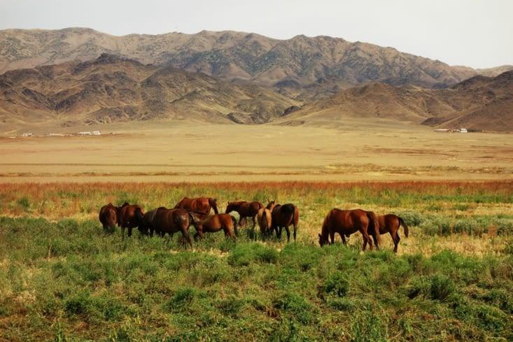 Chevaux en semi-liberté / Semi-captivity horses