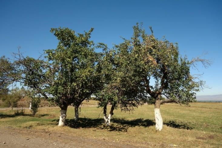 Pommier / Apple tree