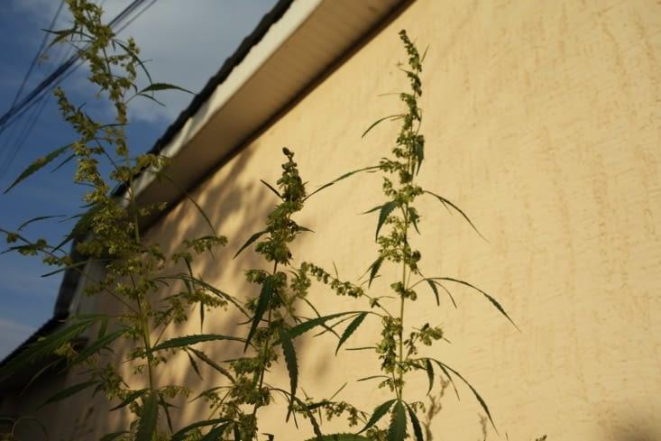 Plant de marijuana dans la rue... / Marijuana plant in the street...