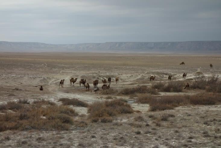 Un troupeau de chameaux / A camels' herd