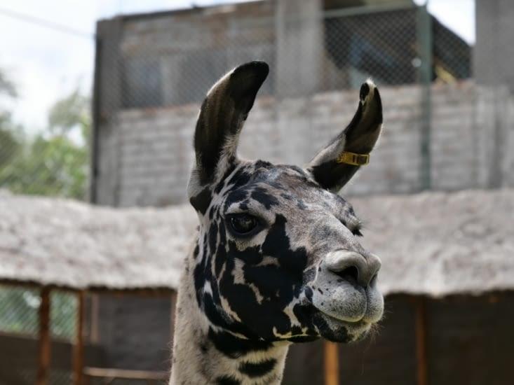 Mon premier lama péruvien