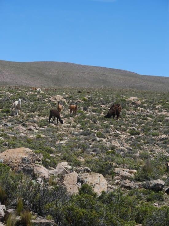 Alpaca ou Lama, saurez vous faire la différence ?