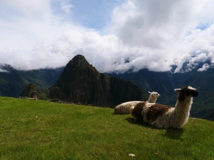 Les célèbres Lama du Machu Pichu