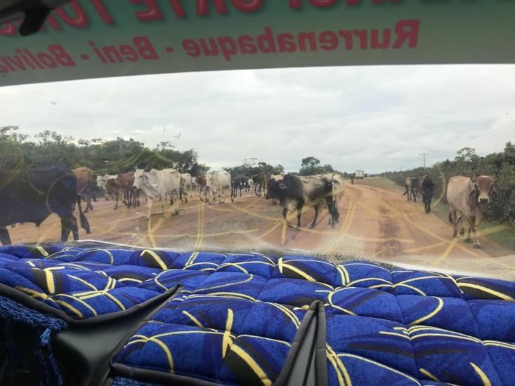 Les vaches font parties des obstacles de la route