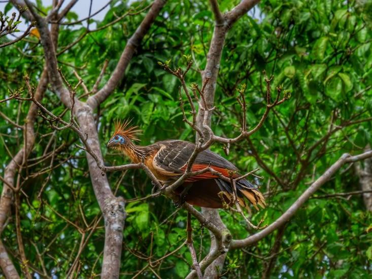 """Oiseau de paradis aussi appelé le """"poulet de la jungle"""""""