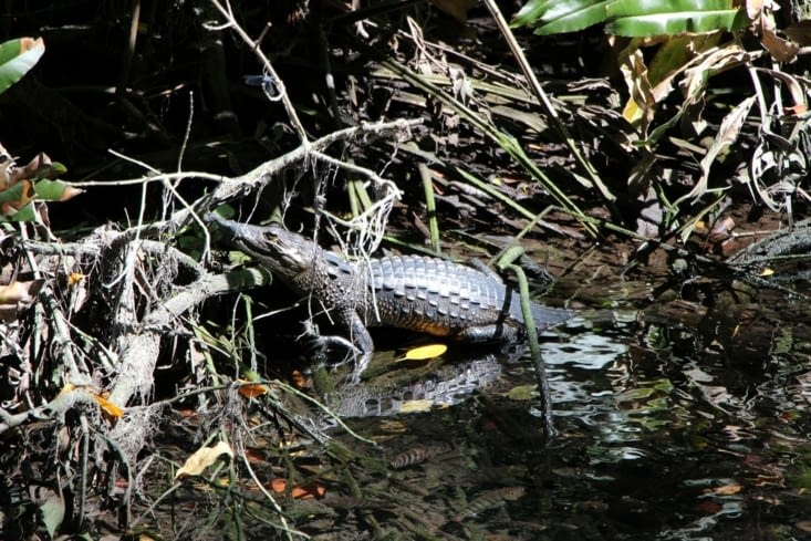 Crocodiles dans la mangrove