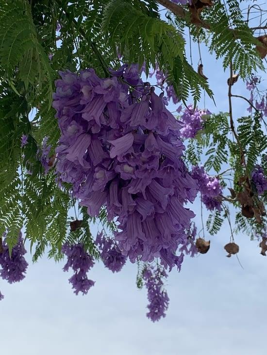 Magnifique les fleurs  de jaracanda (arbre à huîtres)