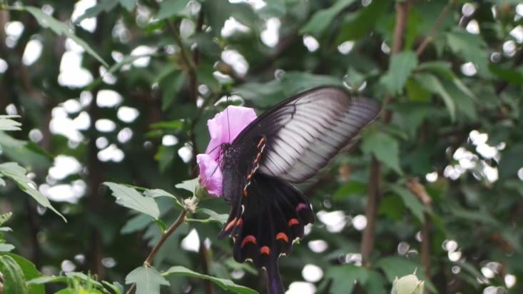 Un gigantesque papillon, aperçu le long des murailles