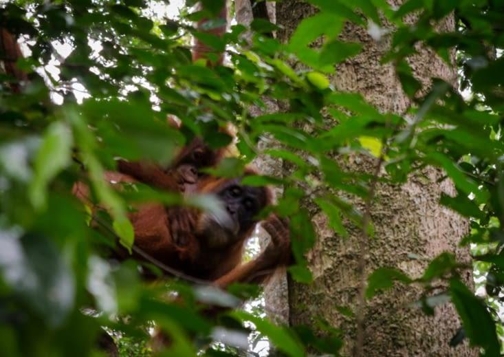 Bébé orang outan qui tête