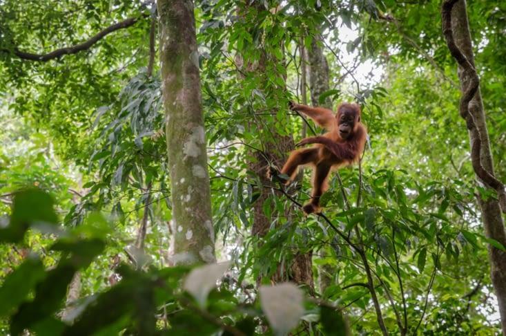 Bébé orang outan