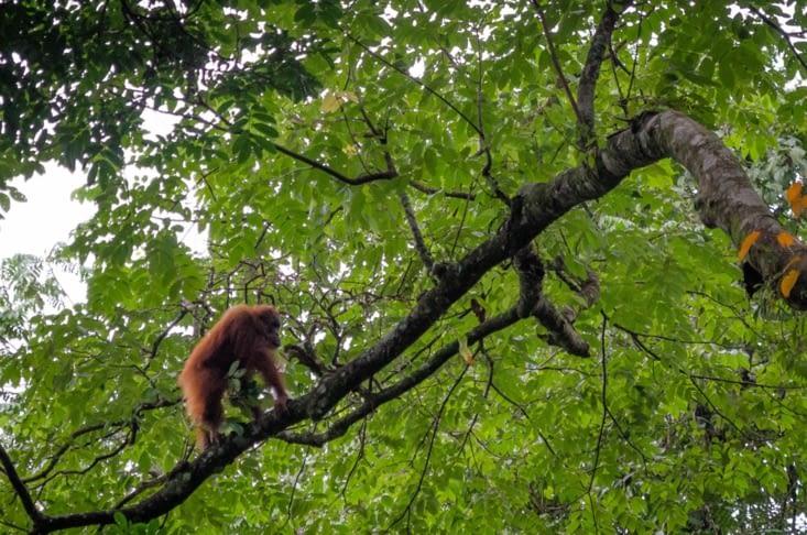 2ème vague d'orang outan : un jeune coupe en balade