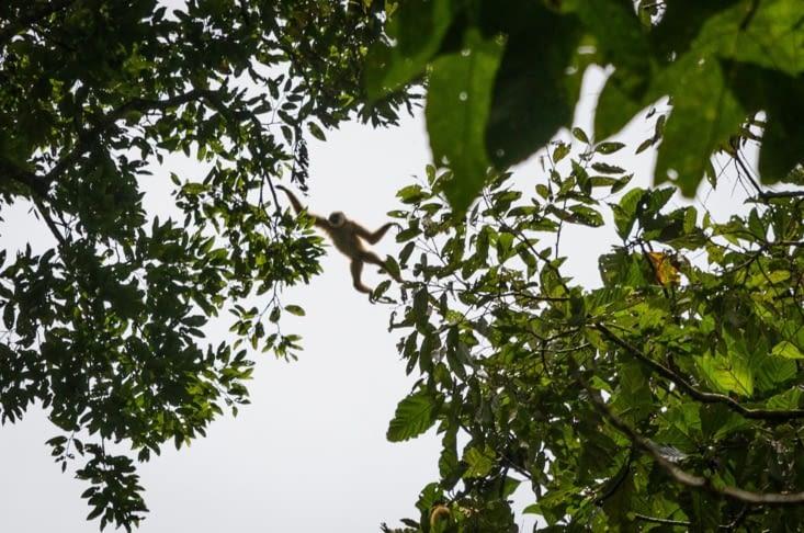 Gibbon sautant d'un arbre à l'autre