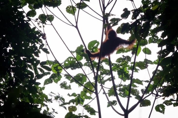 Nouveaux orang outans qui se promènent au dessus de la cascade