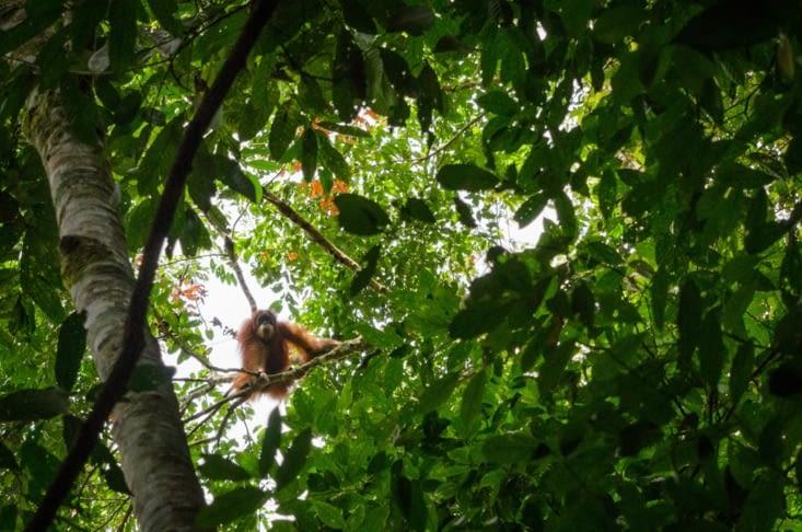 Nouvel orang outan, qui sort tout juste de son nid pour la nuit