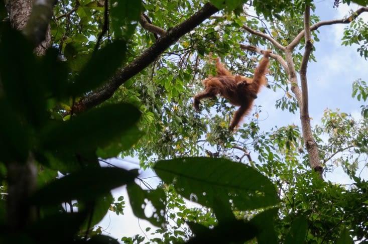 Premiers orang outans, une mère et son bébé