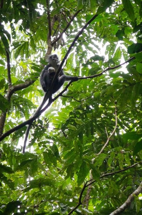 Thomas Leaf monkeys