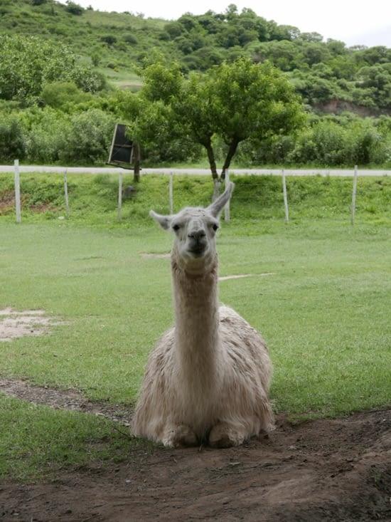 Notre premier lama !!