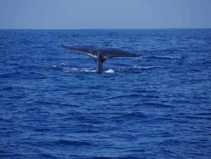 Trop de chance ! 6 baleines et des dauphins !!! et pas de mal de mer !