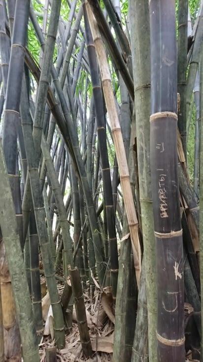Bambou collection