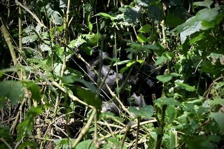 Forêt impénétrable de Bwindi