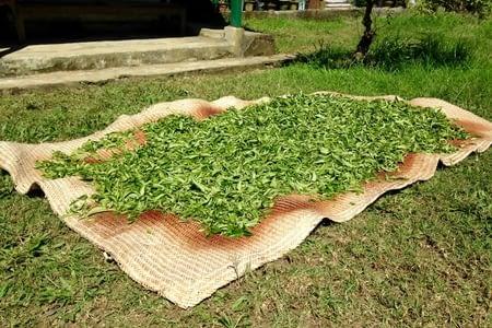 Les plantations de thé d'Aarubote